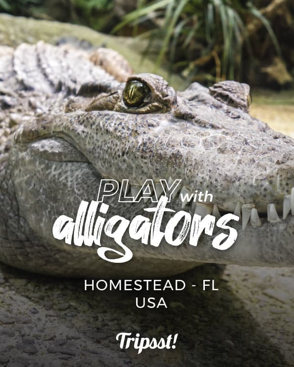 Alligator looking at the camera, showing its teeth.