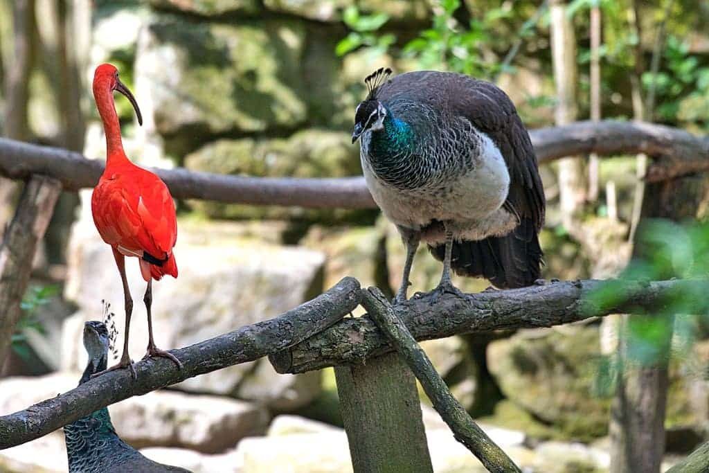 A red ibis and a gray peacock are perched on tree branches