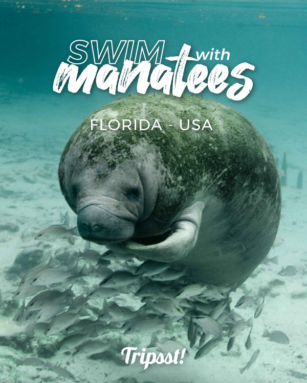 A manatee under the water