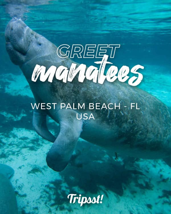 A manatee swims close to a full-geared man snorkeling.