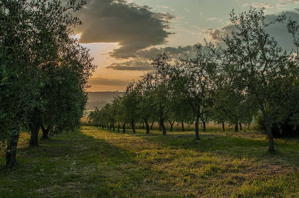 Sunset view of an olive grove in Italy