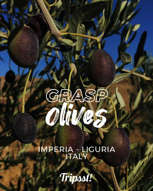 Close-up view of unharvested olives, turning from green to black.
