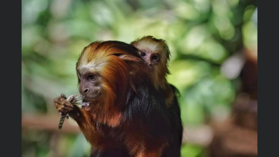 Adult and young tamarin monkey, with the elder eating an insect.