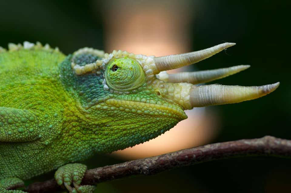 A green tri-horned chameleon looks at the camera as it moves on a branch.