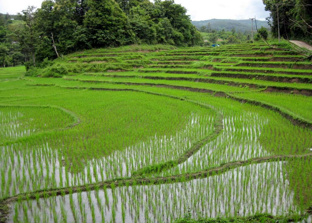 View of rice paddies (fields), with terraced layout, in Thailand
