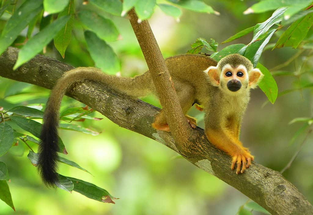 A squirrel monkey seen while moving on a tree branch.